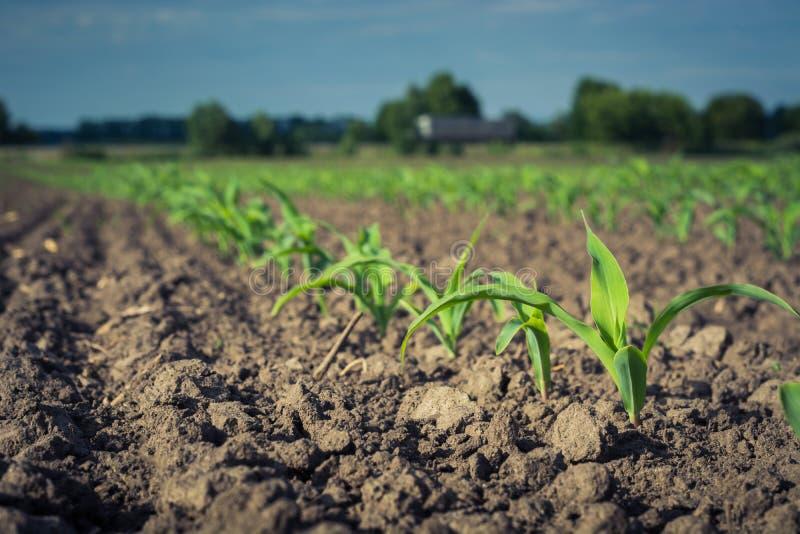 Fileira de plantas de milho novas contra o céu fotos de stock royalty free