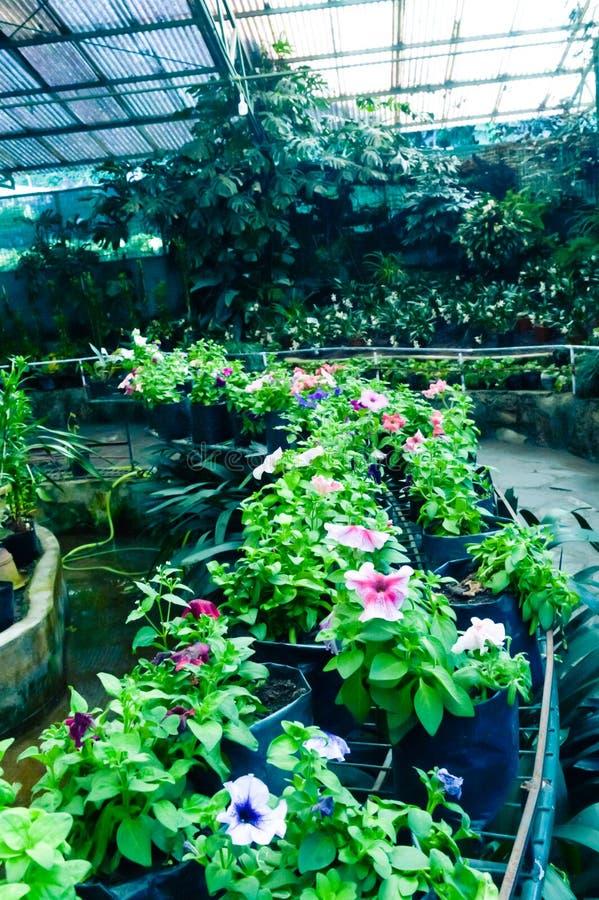 Fileira de potenciômetros de flores do topiary para a venda em um berçário ou o Garden Center perto de Lal Bag, Bangalore, Índia imagem de stock