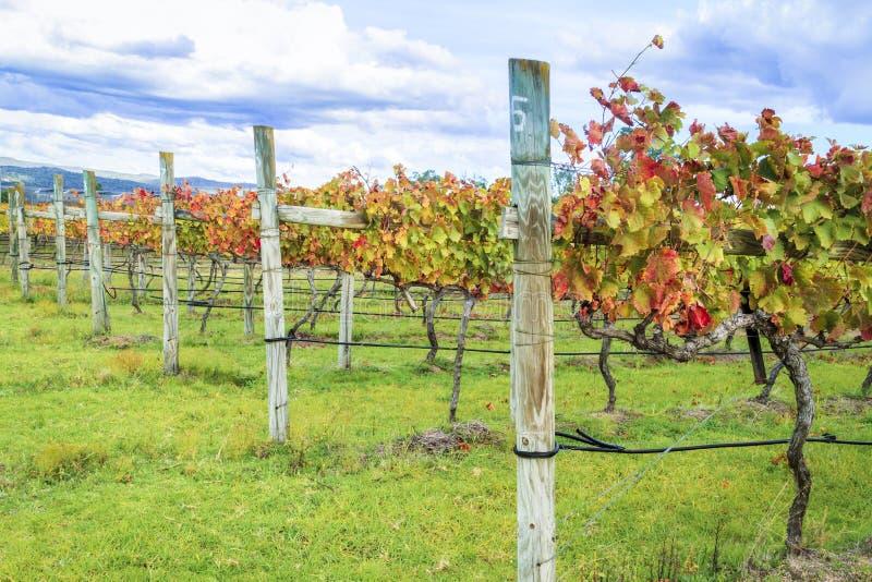 Fileira de videiras da uva para vinho no outono imagens de stock royalty free
