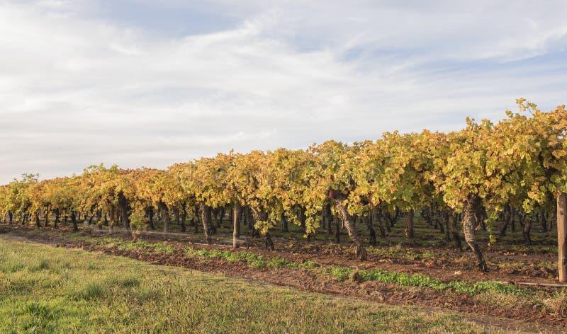 Fileira de vinhas no outono fotografia de stock royalty free