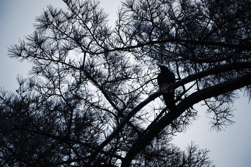 A fileira do ¡ de Ð senta-se no ramo de pinheiro, foto da noite fotografia de stock royalty free