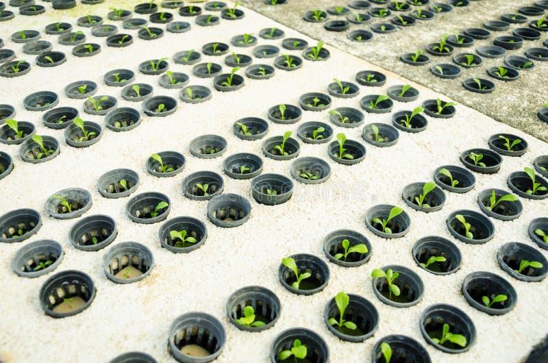 Fileira do butterhead verde novo da alface de cos - vegetab da hidroponia foto de stock