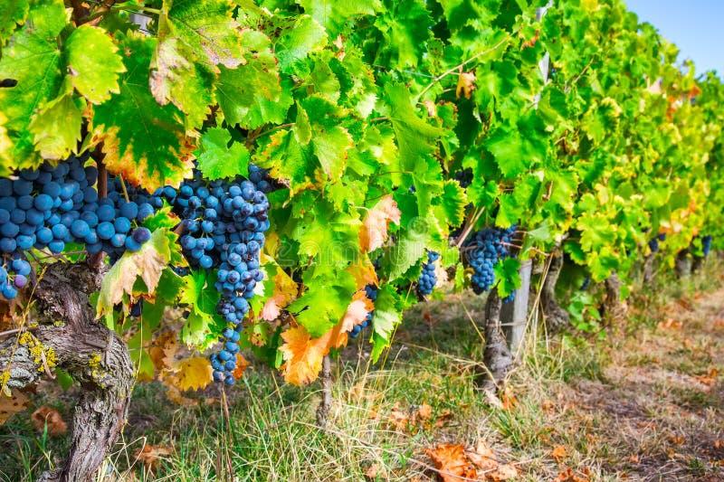 Fileira do vinhedo com grupos de uvas maduras do vinho tinto imagem de stock
