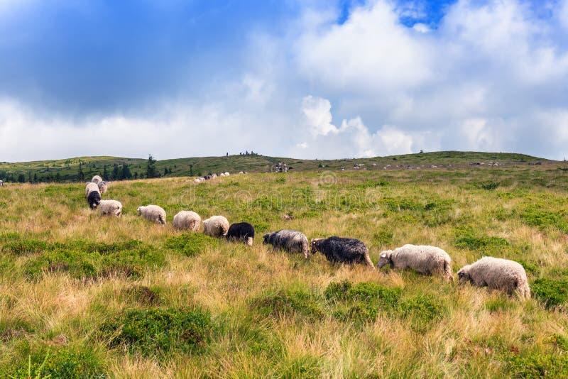 Fileira dos carneiros no pasto imagem de stock