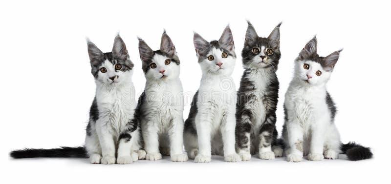 Fileira perfeita de cinco gato branco alto de Maine Coon azul/preto do gato malhado isolado no fundo branco fotografia de stock