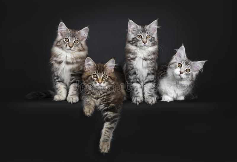 Fileira perfeita de quatro gatinhos do gato de Maine Coon no fundo preto foto de stock royalty free
