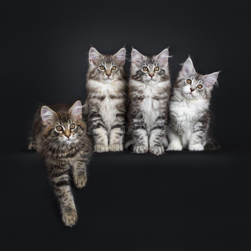 Fileira perfeita de quatro gatinhos do gato de Maine Coon no fundo preto fotografia de stock
