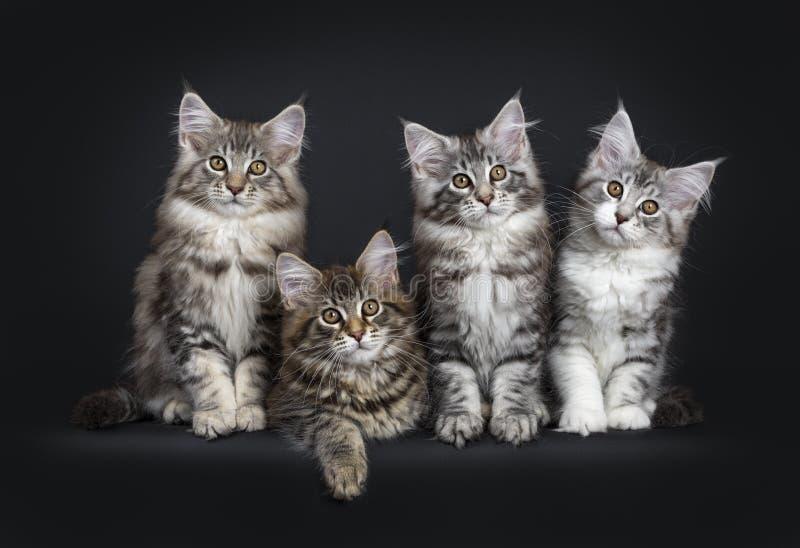 Fileira perfeita de quatro gatinhos do gato de Maine Coon no fundo preto fotos de stock royalty free