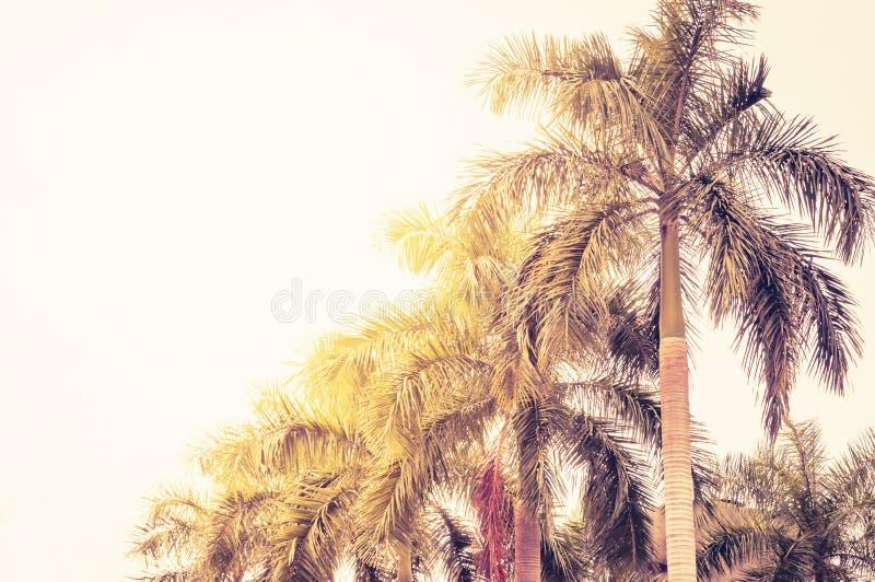 Fileira pisada das palmas de coco a diminuir na perspectiva fotos de stock royalty free