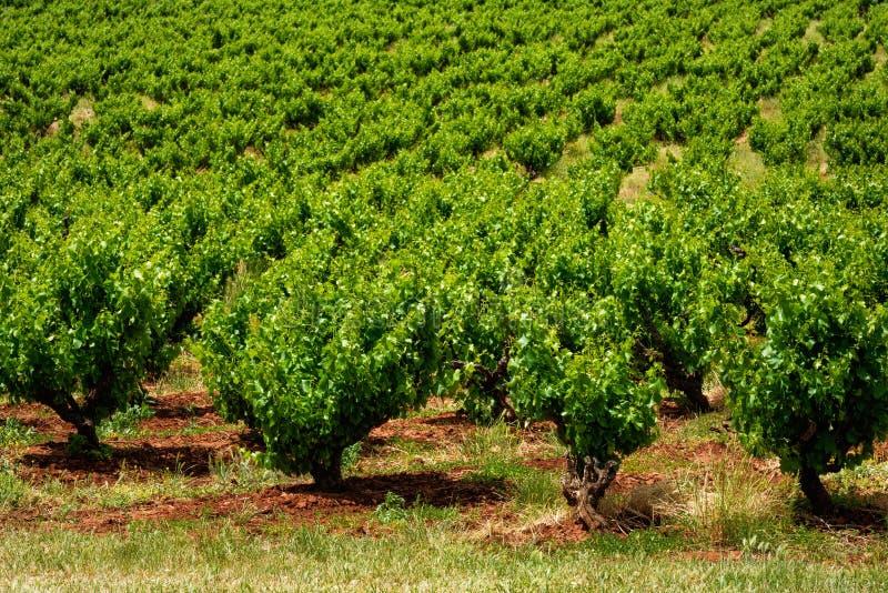 Fileiras australianas dos vinhedos imagens de stock