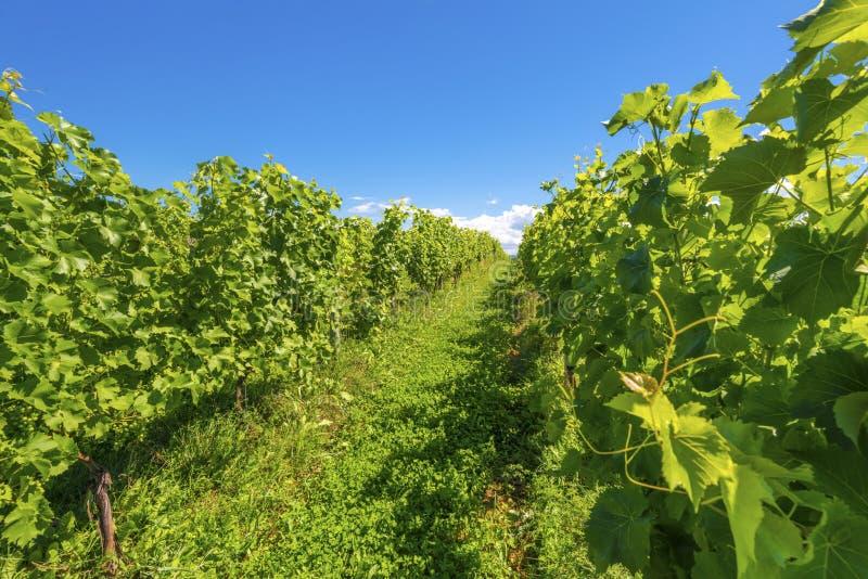 Fileiras bonitas das uvas imagem de stock