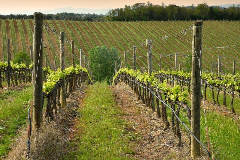 Fileiras bonitas de vinhedos verdes novos perto de Mercatale Val di Pesa Florence na esta??o de mola no por do sol tosc?nia imagens de stock