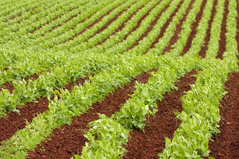 Fileiras da exploração agrícola de plantas de ervilha frescas imagens de stock