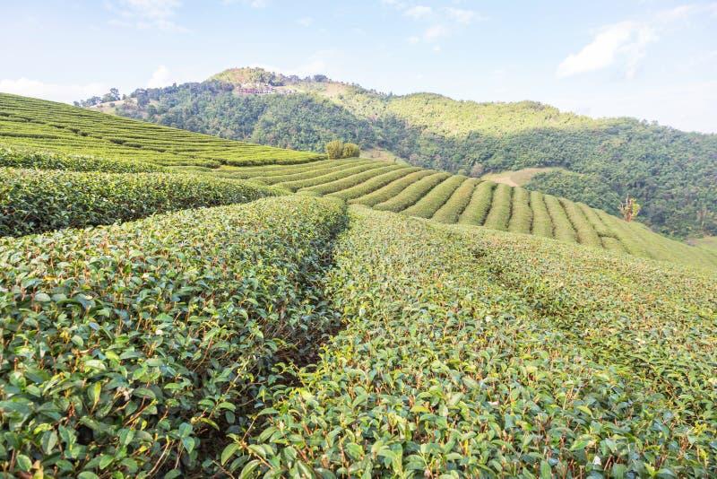 Fileiras da plantação de chá 101 terraced verde em Doi Mae Salong, Chiang Rai, Tailândia imagem de stock