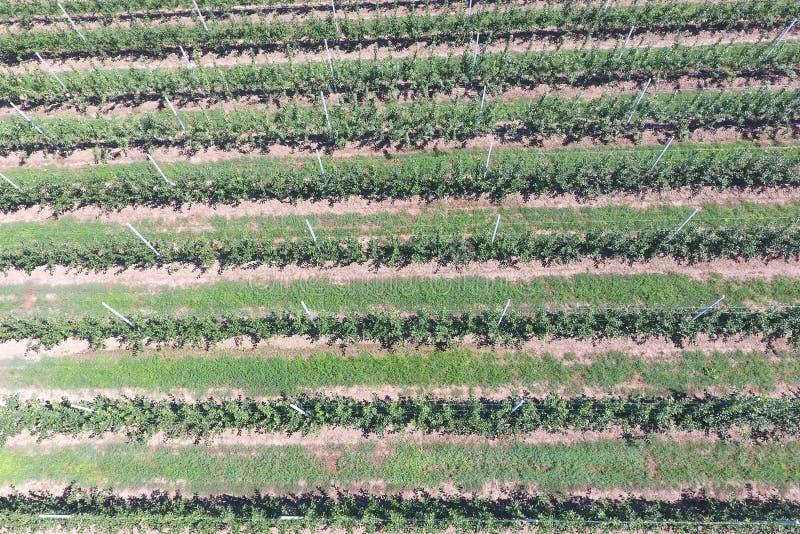 Fileiras das árvores no jardim Aerophotographing, vista superior foto de stock
