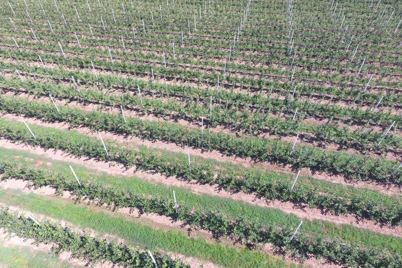 Fileiras das árvores no jardim Aerophotographing, vista superior imagem de stock