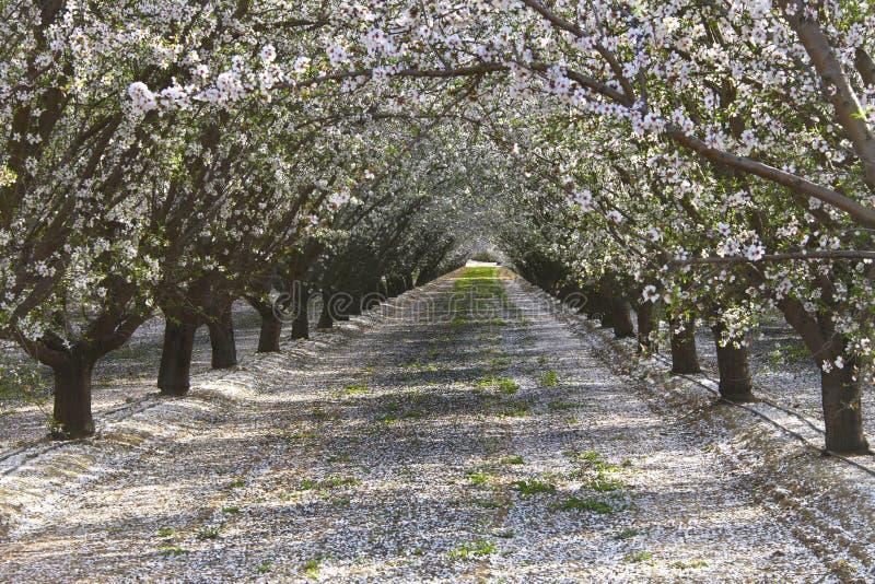Fileiras das pétalas de florescência das árvores de amêndoa na terra fotos de stock royalty free