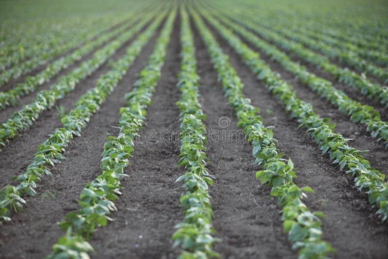 Fileiras das plântulas na exploração agrícola foto de stock