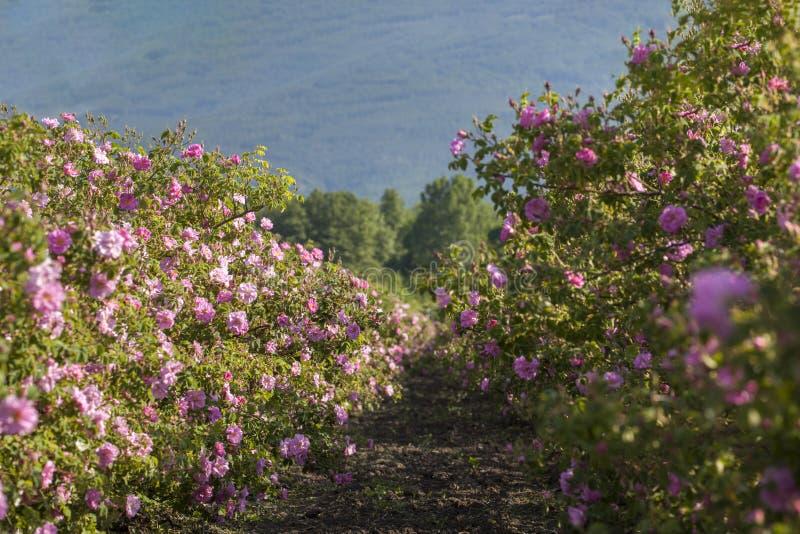 Fileiras das rosas em um campo agrícola fotos de stock