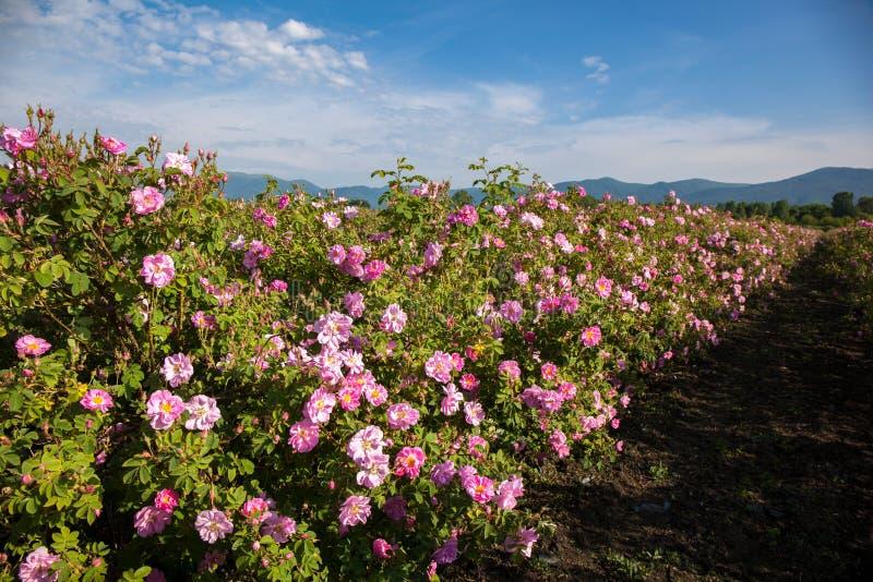 Fileiras das rosas em um campo de exploração agrícola imagem de stock