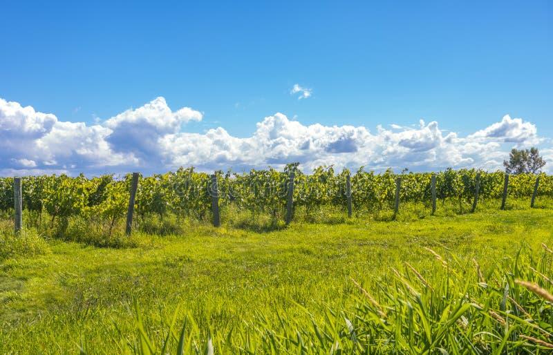 Fileiras das uvas imagens de stock