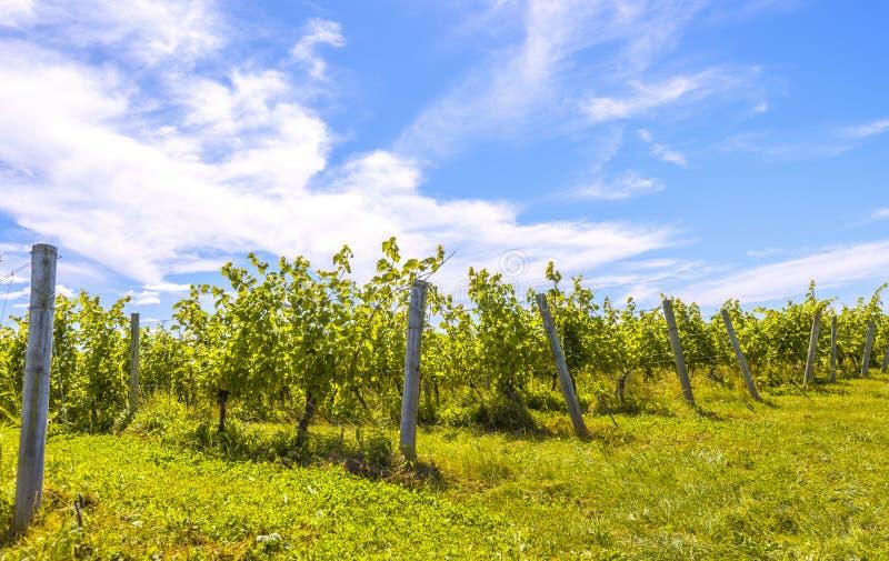 Fileiras das uvas fotografia de stock royalty free