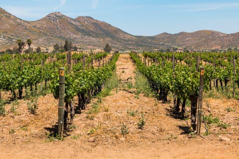 Fileiras das uvas que crescem em Ensenada, México imagens de stock royalty free