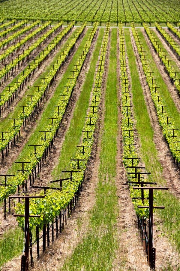 Fileiras das videiras em um vinhedo em Sonoma Califórnia imagem de stock