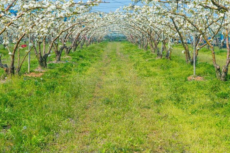 Fileiras de árvores de pera na flor fotos de stock
