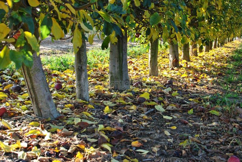 Fileiras de árvores de pera no nascer do sol outono Folhas caídas do amarelo imagem de stock