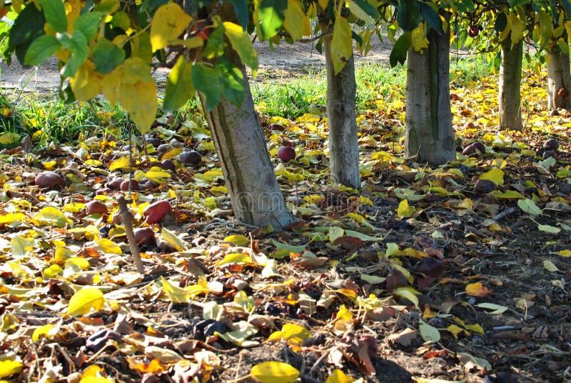 Fileiras de árvores de pera no nascer do sol outono Folhas caídas do amarelo fotos de stock