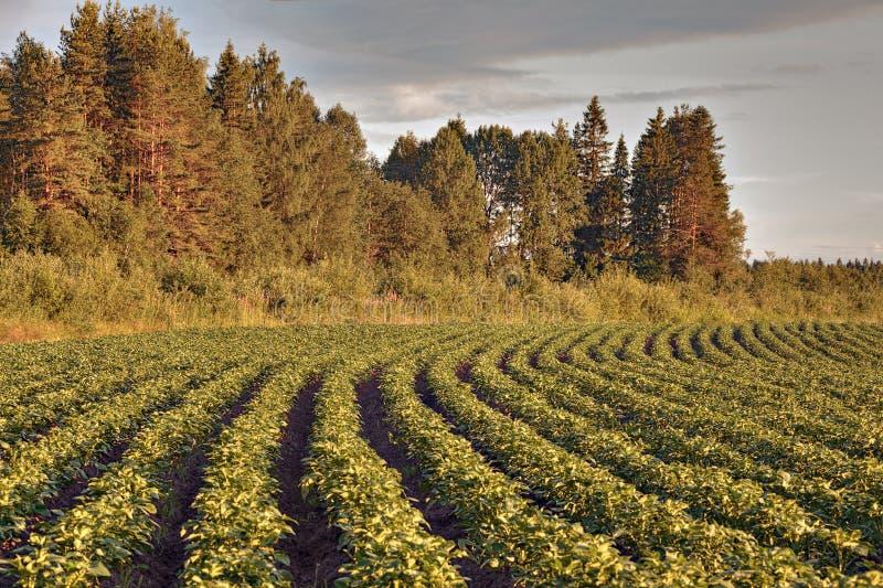 Fileiras de arbustos da batata no campo de exploração agrícola antes do por do sol imagem de stock