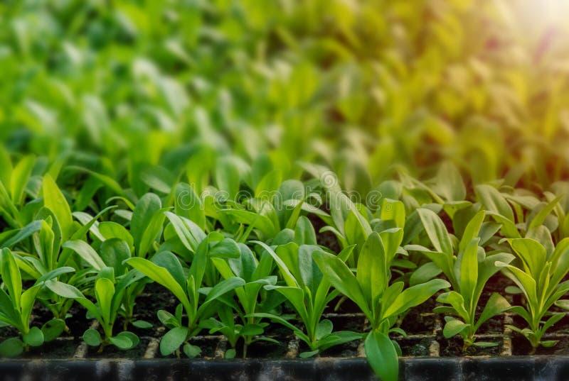 Fileiras de pl?ntulas em pasta e de plantas novas foto de stock royalty free