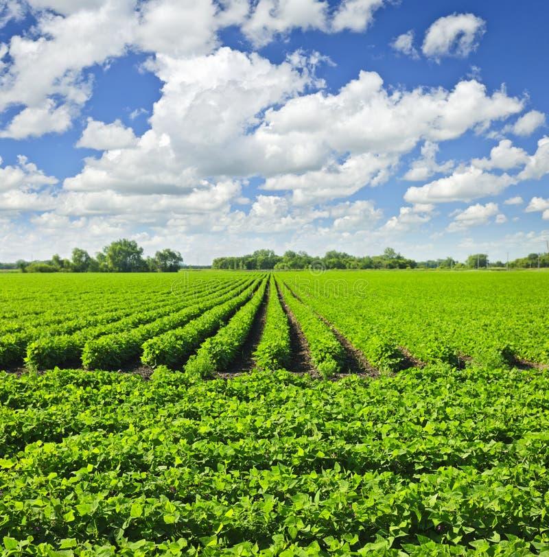 Fileiras de plantas da soja em um campo imagem de stock