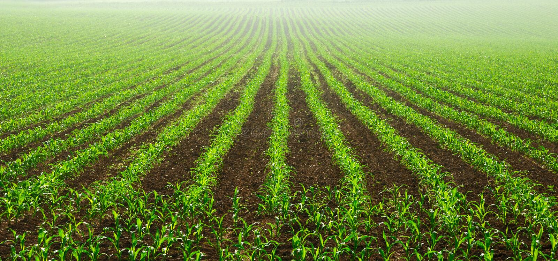 Fileiras de plantas de milho novas imagens de stock royalty free