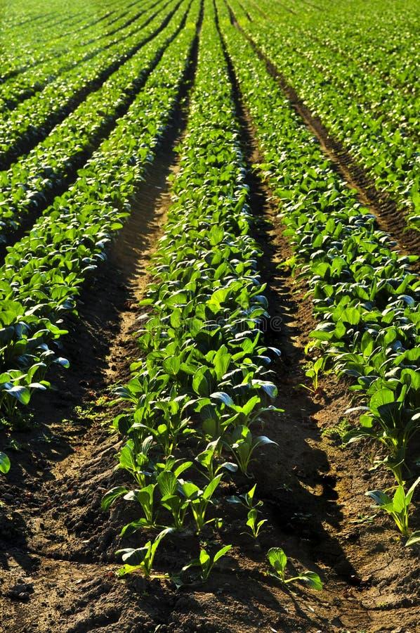 Fileiras de plantas de nabo em um campo fotos de stock