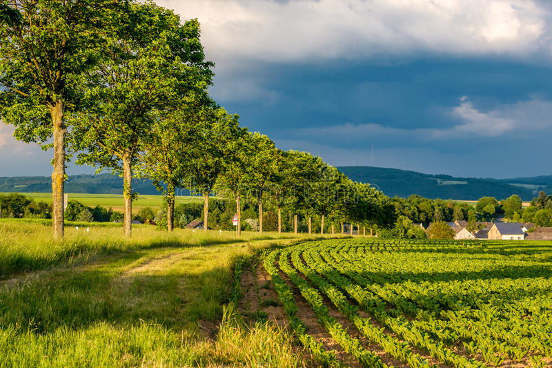 Fileiras de plantas verdes novas em um campo fértil com solo escuro na luz do sol morna sob o céu dramático fotografia de stock