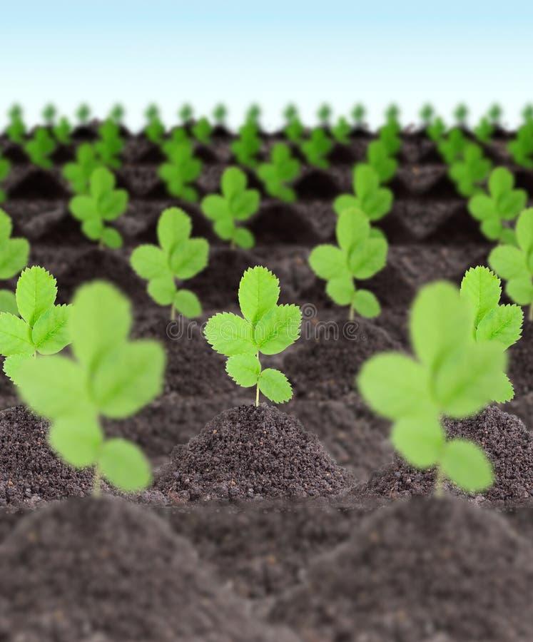 Fileiras de plantas verdes novas fotografia de stock