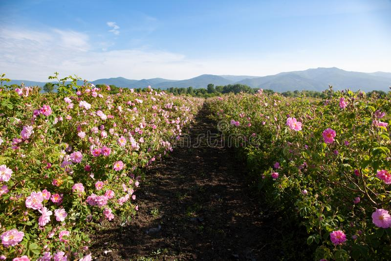 Fileiras de rosas florescidas em um campo agrícola fotos de stock