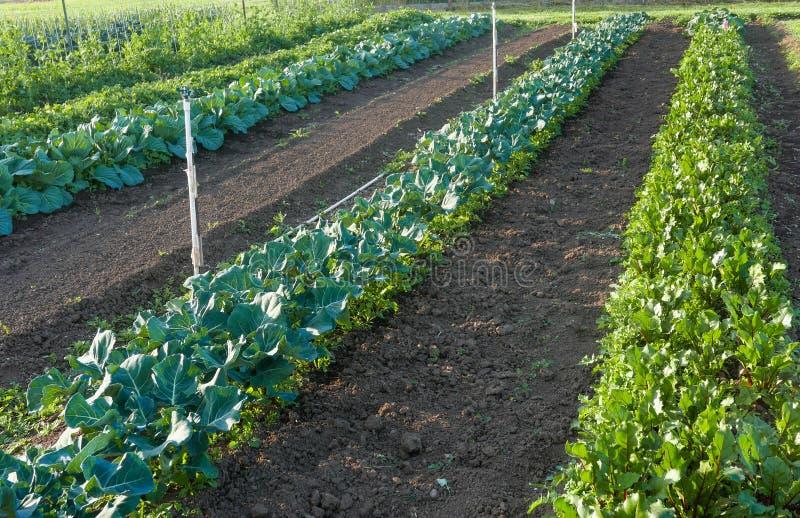 Fileiras de verdes da salada no jardim da comunidade fotografia de stock