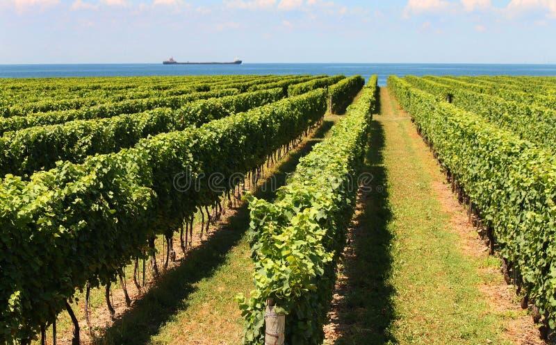 Fileiras de vinhas fotos de stock