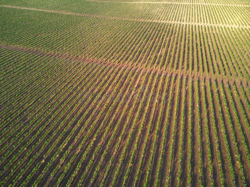 Fileiras de vinhas do vinhedo imagem de stock