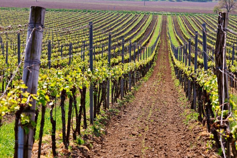 Fileiras de vinhas do vinhedo Paisagem da mola com vineya verde imagens de stock