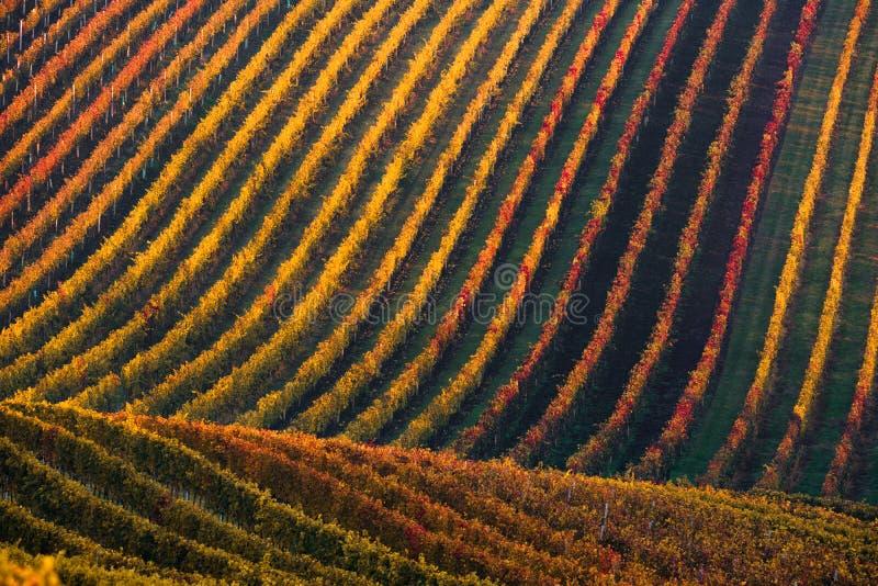 Fileiras de vinhas do vinhedo Paisagem do outono com vinhedos coloridos Vinhedos da uva de Moravia sul em República Checa imagem de stock