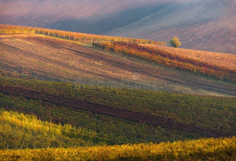 Fileiras de vinhas do vinhedo Paisagem do outono com vinhedos coloridos Vinhedos da uva de República Checa Fundo abstrato de Aut imagem de stock royalty free