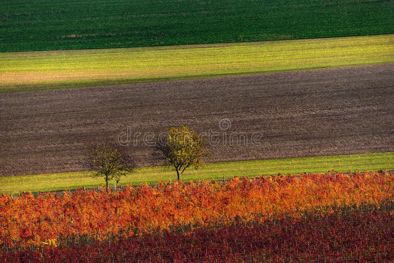 Fileiras de vinhas do vinhedo Paisagem do outono com vinhedos coloridos Fundo abstrato da árvore de Autumn Vineyards Rows And Two foto de stock
