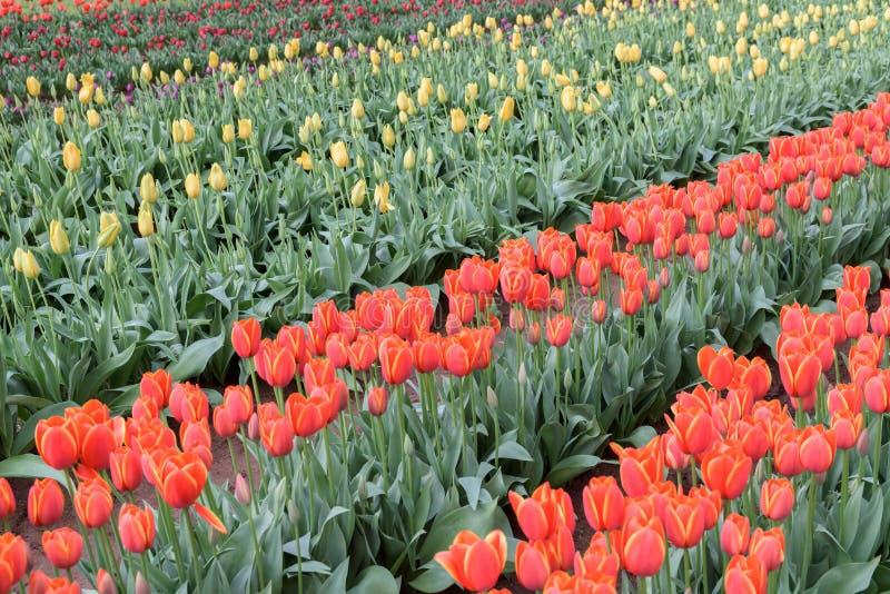 Fileiras diagonais das tulipas coloridas diferentes vermelhas, amarelo, roxo imagens de stock