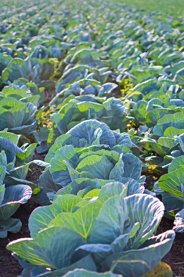 Fileiras do campo de Cabage Cultivando a couve orgânica Couve no campo pronto para colher imagens de stock
