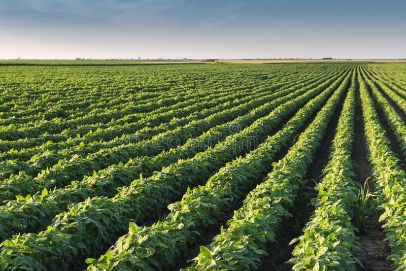 Fileiras do campo do feijão de soja fotografia de stock