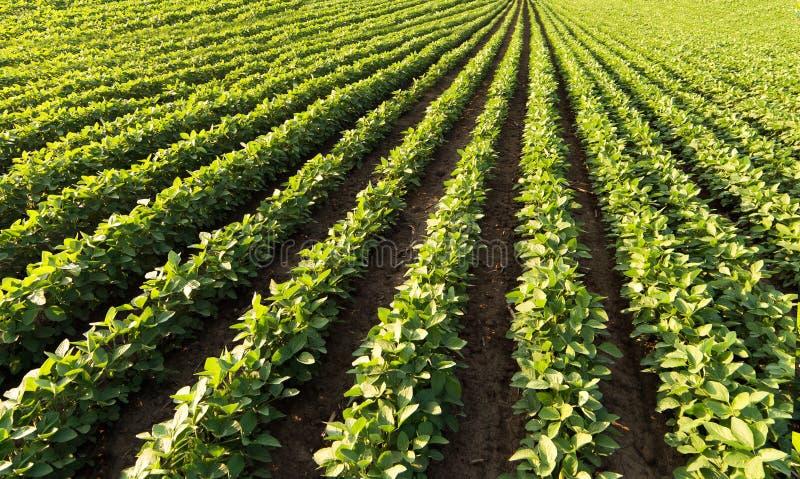 Fileiras do campo do feijão de soja imagens de stock
